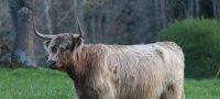 К чему снится корова мужчине или женщине: толкование образа по сонникам