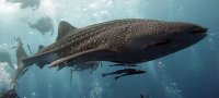К чему снится большая рыба: толкование по разным сонникам