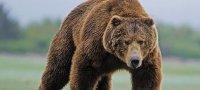 К чему снится убегать от медведя: толкование образа известными сонниками