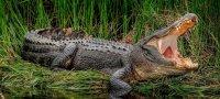 К чему снится крокодил: толкование для мужчин и женщин