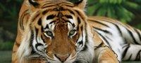 К чему снится тигр: толкования различных сонников