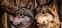 К чему снятся волки: толкование по разным сонникам