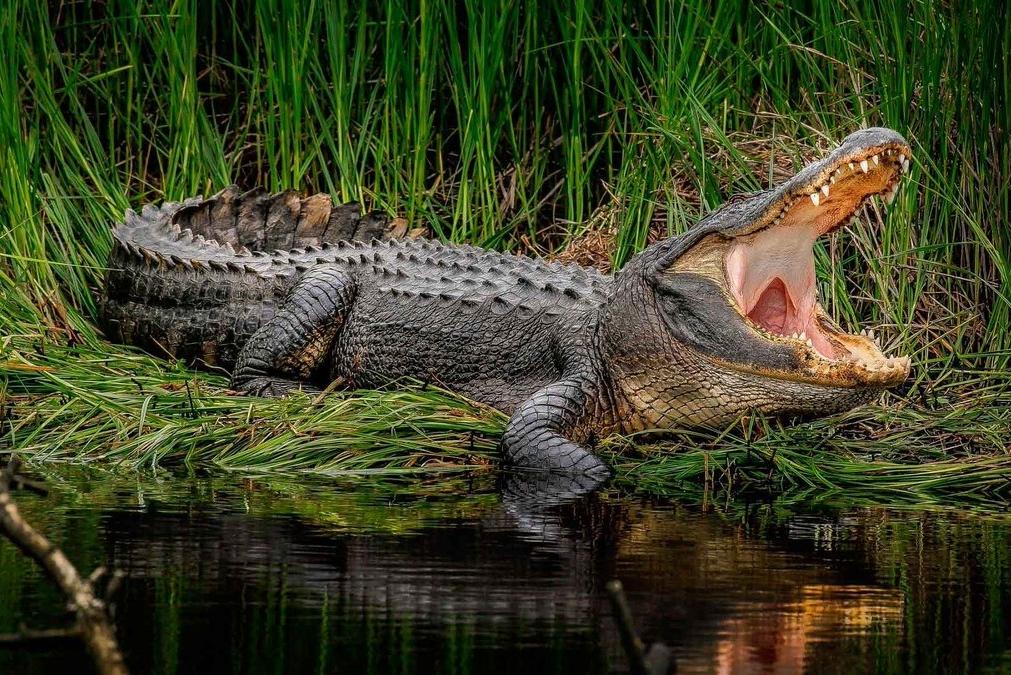 Сонник: крокодил, к чему снится Крокодил во сне приснился