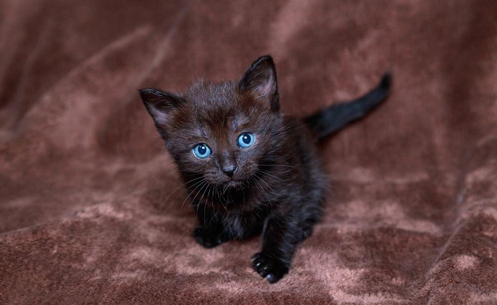 Сонник черный котенок на руках