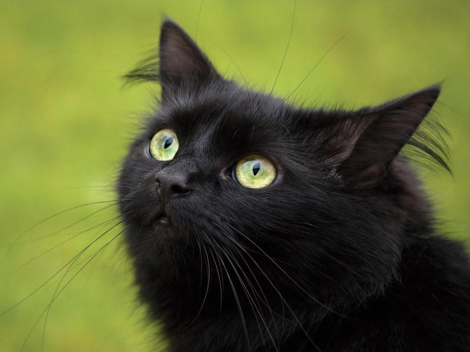 Сонник Котенок черный 😴 приснился, к чему снится Котенок черный во сне видеть?